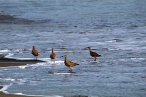 Curlews in the surf