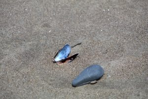Mussel in the sand.