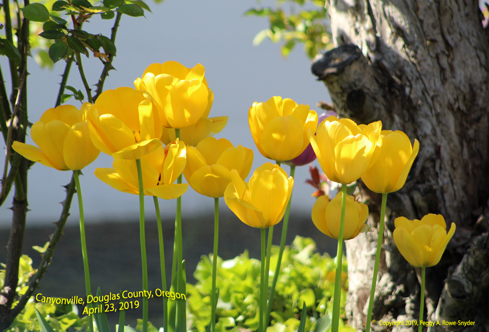 Tulips in Canyonville, Oregon